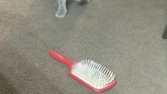 Gatinho Intrigado Com Escova De Cabelo, Olha Só A Curiosidade Dele!