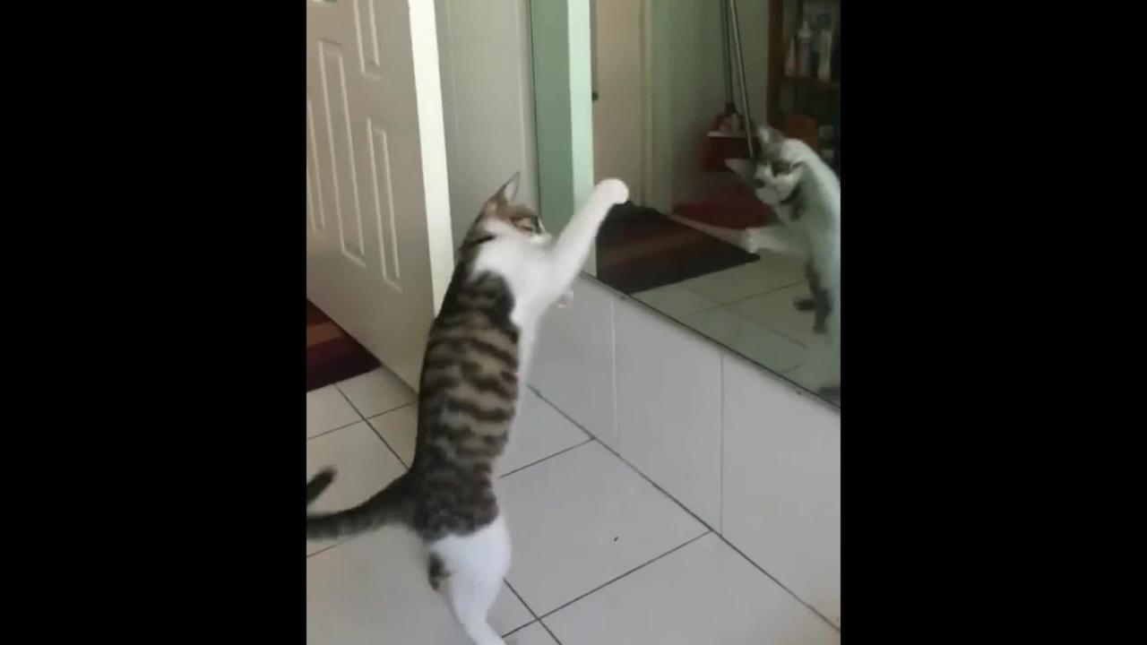 Gatinho lutando boxe com seu reflexo no espelho
