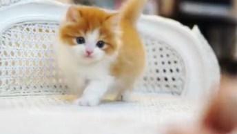 Gatinho Miniatura, Tem Como Não Amar Esse Bichando Minúsculo!