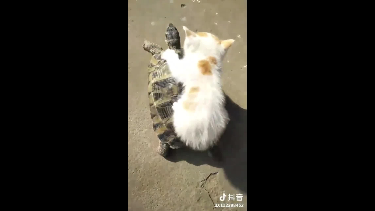 Gatinho pegando carona na costa de uma tartaruga