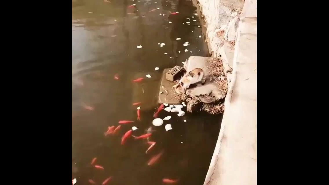 Gatinho vai até o lago pesca um peixinho e sai para almoçar