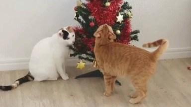 Gatinhos Adoram Arvores De Natal, Veja Estes Dois Amiguinhos Brincando!