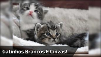 Gatinhos Brancos E Cinzas, Como Não Amar Essas Fofuras De Animais?
