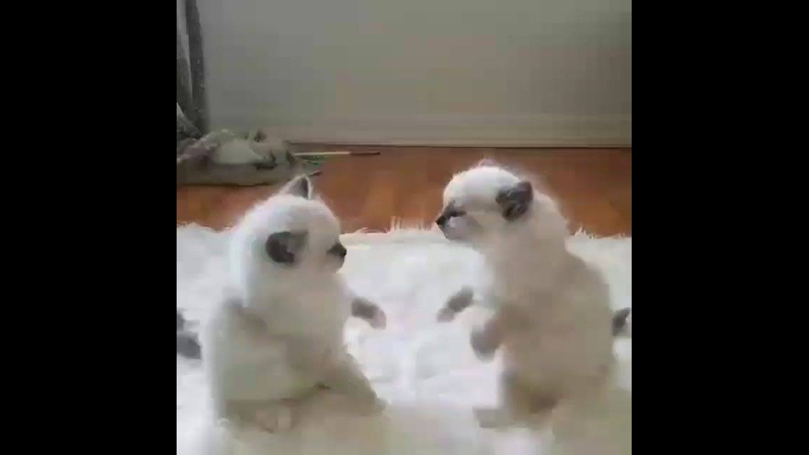 Gatinhos brigando, olha só o tamaninho destas criaturinhas lindas!!!