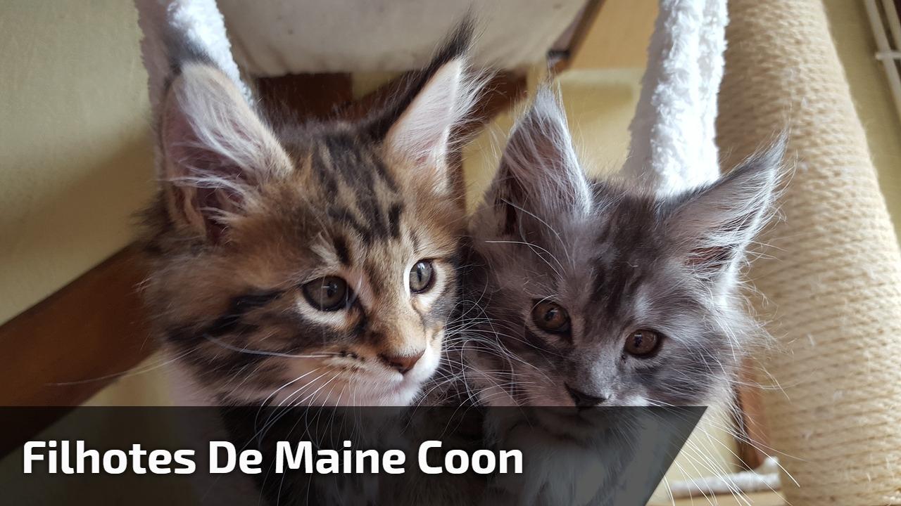 Filhotes de Maine Coon