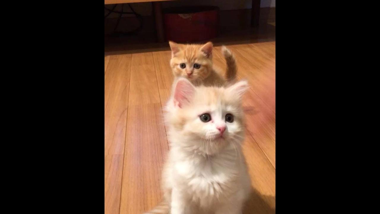 Gatinhos fofinhos das perninhas curtas