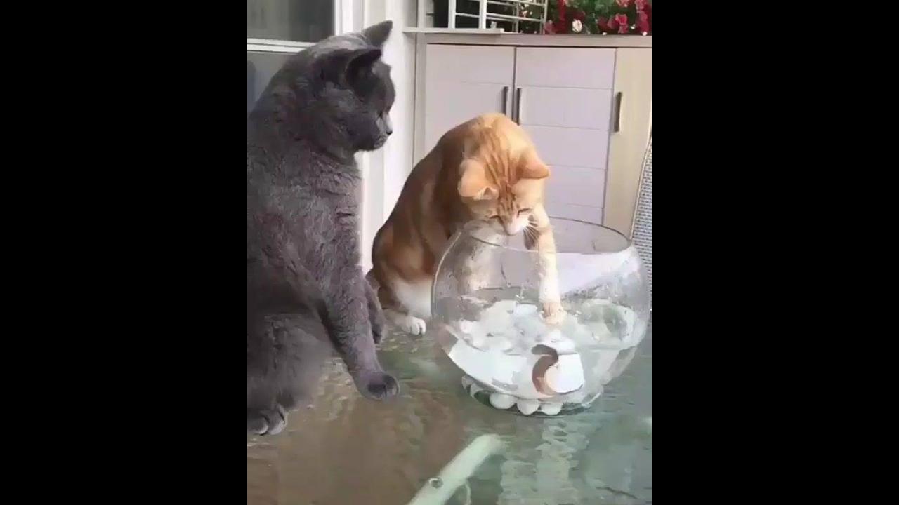 Gato amarelo tentando pegar o peixe e o cinza pedindo paz entre os animais