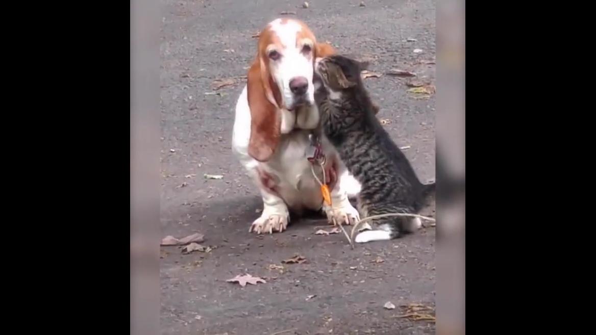 Gato amassando pãozinho em cachorro, é muito amor envolvido!