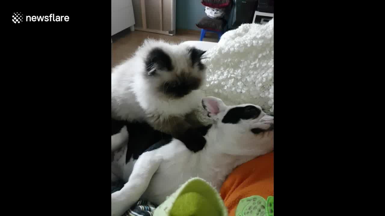 Gato amassando pãozinho em cachorro que esta dormindo e adorando