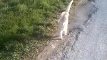 Gato Andando Com As Patas Dianteiras, Será Que Ele Trabalha Em Algum Circo?