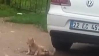 Gato Apoiando No Carro Para Se Limpar, Foi Flagrado Em Plena Luz Do Dia Hahaha!