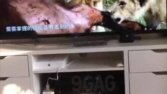 Gato Assistindo Cena De Felinos Na Televisão, Olha A Cara De Assustado!
