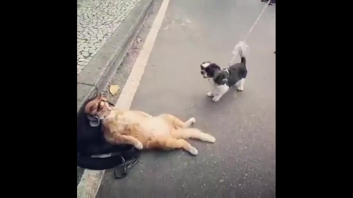 Gato bem sossegado quando o cachorrinho fica latindo nele hahaha