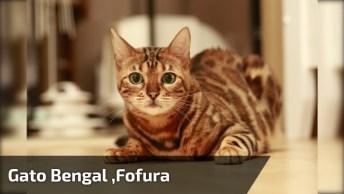 Gato Bengal Com Sua Humana, Olha O Tamanho Desse Felino!