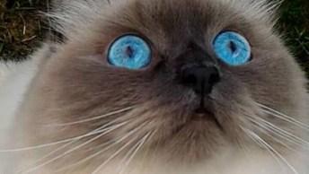 Gato Birmanês, Olha Só Que Coisa Mais Linda Esta Raça De Olhos Fascinantes!