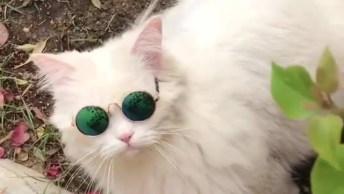 Gato Branco Com Óculos Escuro, Esse Tem Muito Estilo, Confira!