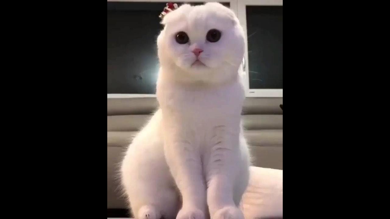 Gato Branco lindo e brincalhão, que coisa mais fofa, confira!