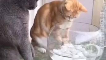 Gato Brincando Com Peixe No Aquário, E O Outro Gato Protegendo O Peixinho!