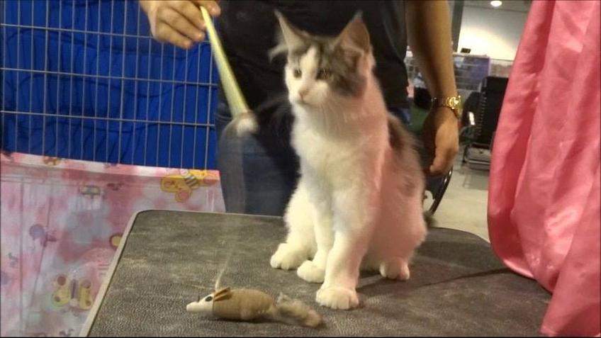 Gato brincando com ratinho de brinquedo
