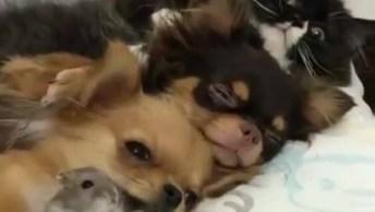 Gato, Cachorro E Hamster Deitadinhos Juntos, Veja Que Fofura!