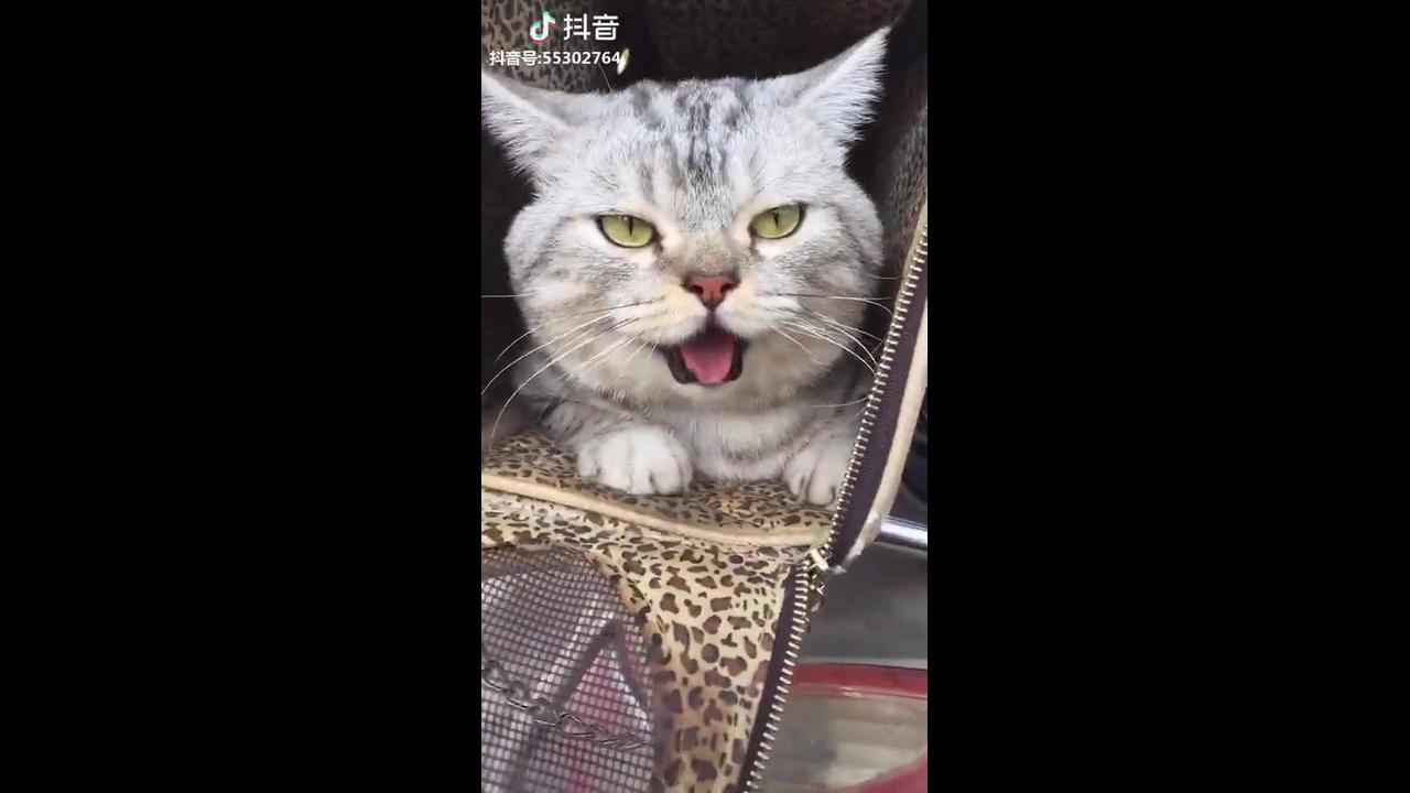 Gato com a língua de fora