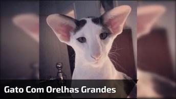 Gato Com Orelhas Grandes, Será Que Ele É De Alguma Raça Específica?