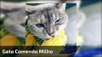 Gato Comendo Milho Na Espiga, Ele Parece Mesmo Que Gosta Dessa Comida!