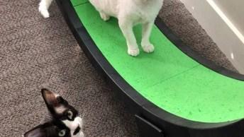 Gato Correndo Em Roda Esteira Para Gatos, Eles Parecem Ter Gostado!