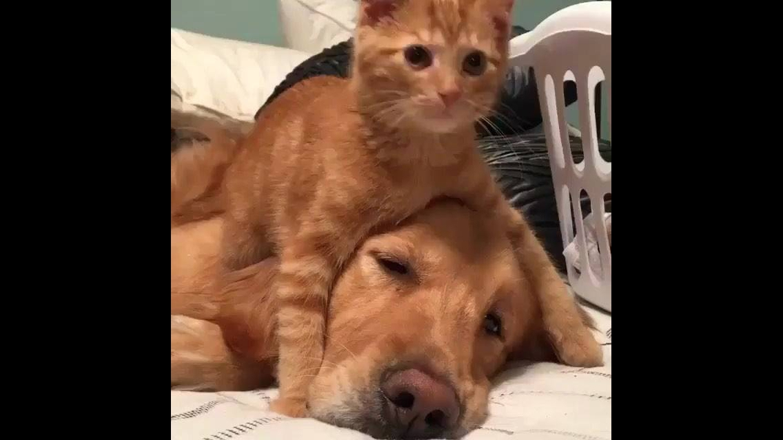Gato dando banho em cachorro da mesma cor que ele