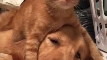 Gato Dando 'Banho' Em Cachorro Da Mesma Cor Que Ele, Que Fofura!