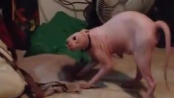 Gato De Raça Sem Pelo Se Assustando Com Humano Fantasiado!