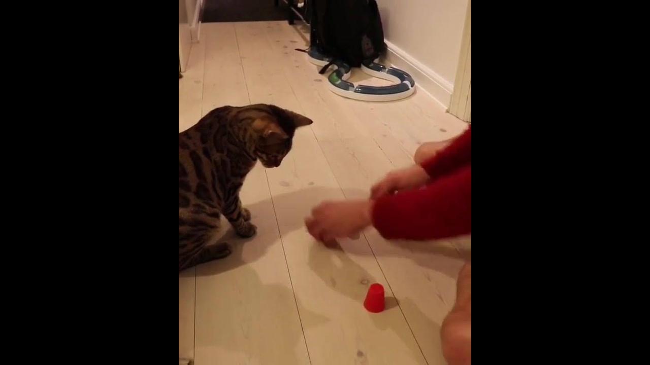 Gato descobrindo aonde esta a esfera