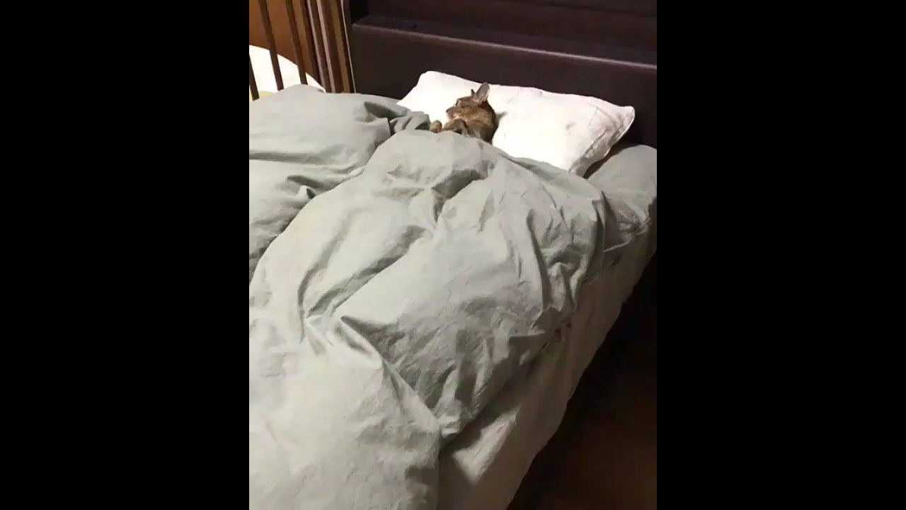 Gato dormindo na sua caminha com travesseiro e tudo