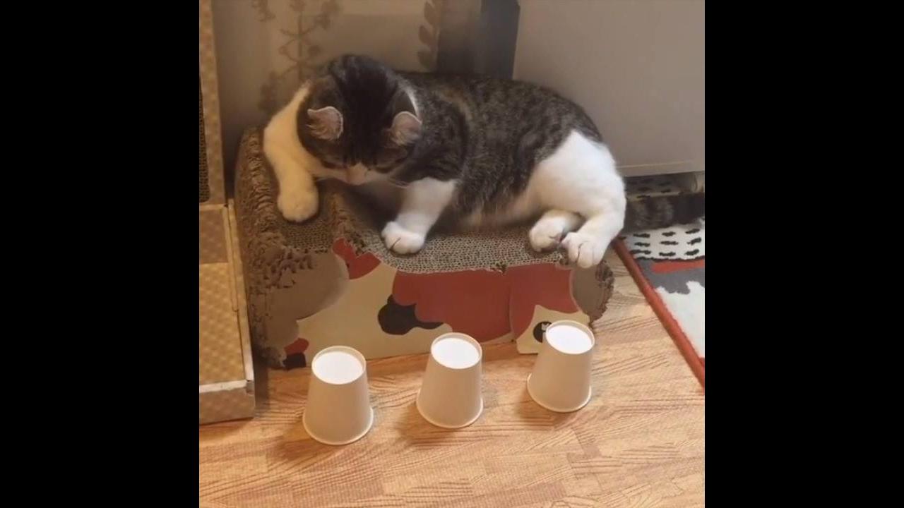 Gato esperto descobrindo onde esta a bolinha, até você vai se perder e ele não!