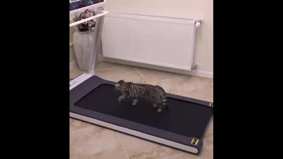 Gato intrigado com esteira