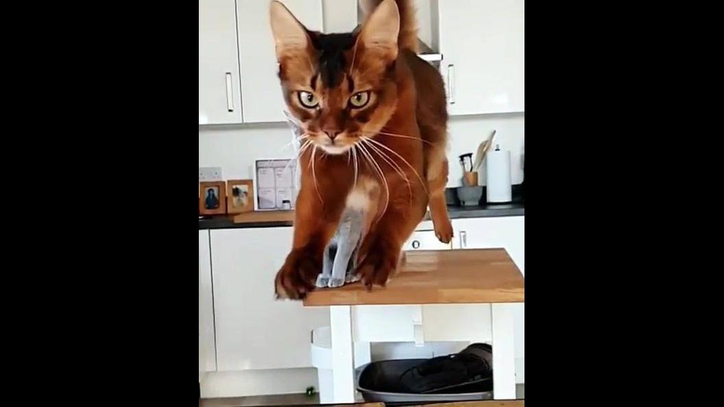 Gato lindo dando um salto alto e longo, confira como ele é belo!
