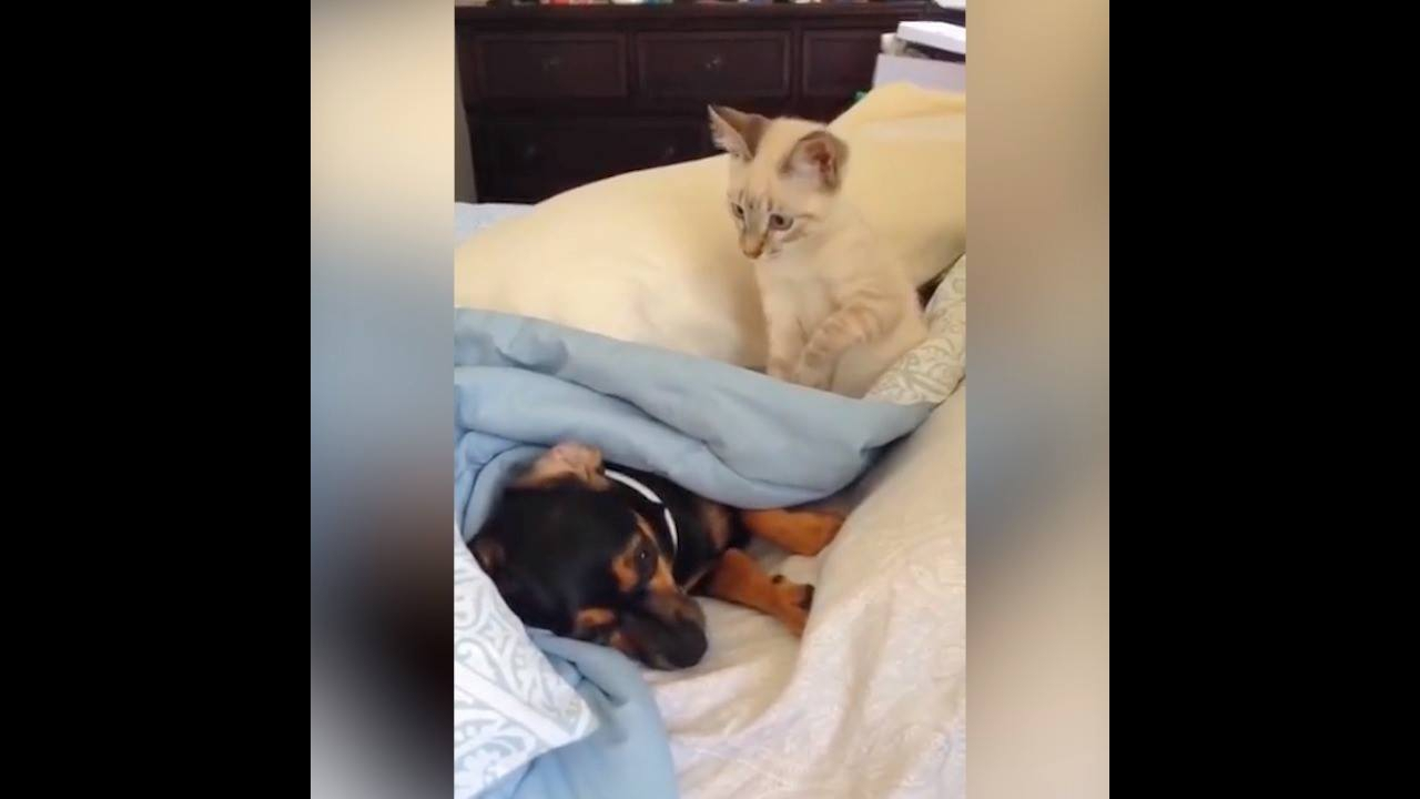Gato provocando o cachorro
