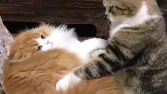 Gatos Brigando Por Causa De Caixa De Papelão, Que Fofura!