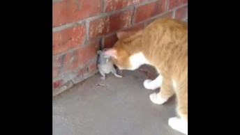 Gatos E Ratos Se Dando Bem, Será Que Isso É Possível? Confira!