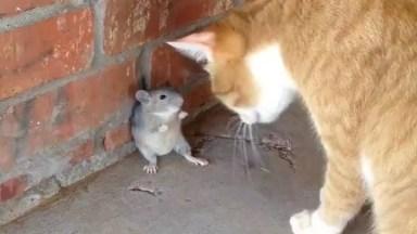 Gatos E Ratos, Uma Amizade Que Nunca Irá Da Certo, Confira!