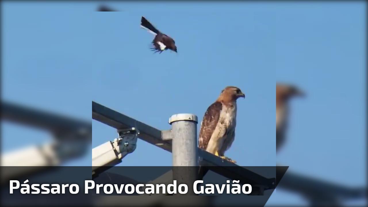 Pássaro provocando Gavião
