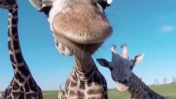 Girafa Lambendo A Câmera Dos Visitantes, Será Que Tem Sabor Isso?