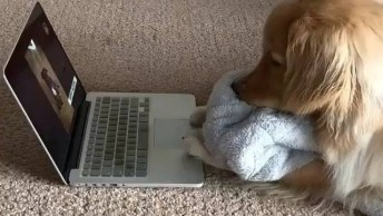 Golden Assistindo Vídeo De Animal, Olha Só A Carinha Dele!