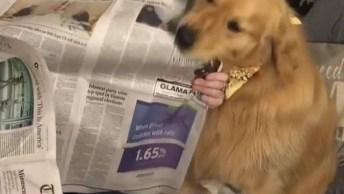 Golden Não Quer Que Sua Dona Leia O Jornal, Olha Só O Que Ele Apronta!