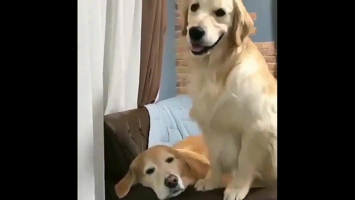 Golden reteiver tentando chamar seu irmão para brincar