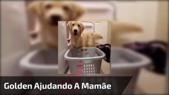 Golden Retriever Ajudando A Mamãe A Tirar A Roupa Da Maquinas!