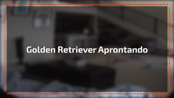 Golden Retriever Aprontando Todas Em Casa Enquanto Esta Sozinho!