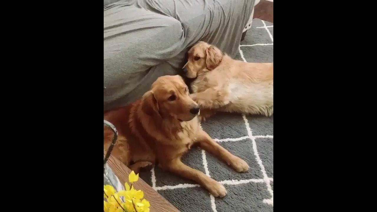 Golden retriever chamando seu irmão pra brincar