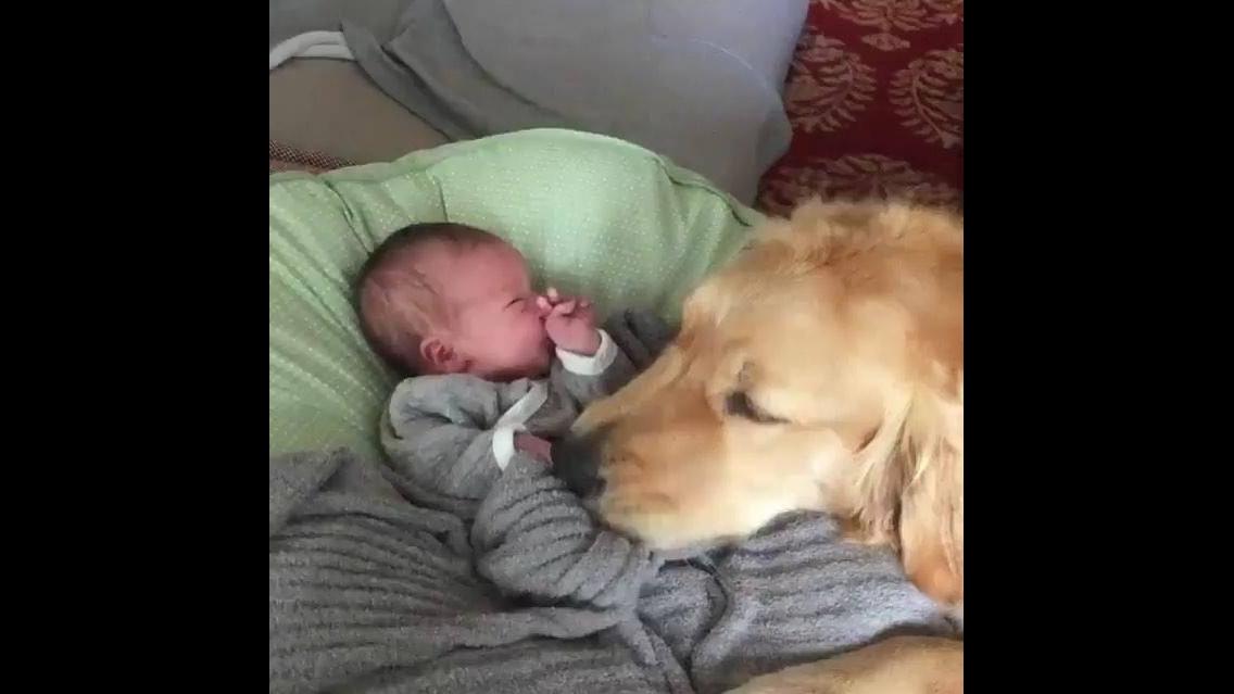 Golden retriever conhecendo o bebê, olha só o carinho dele!!!