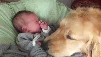 Golden Retriever Conhecendo O Bebê, Olha Só O Carinho Dele!